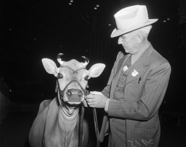 Jersey dairy cattle show.   (MS 359: L-3915-D)