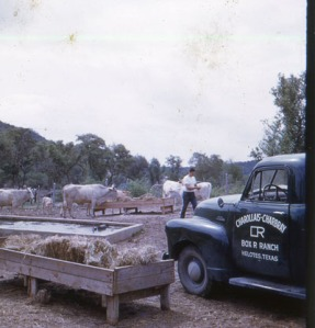 Cattle in lower trap, Box R Ranch truck in foreground