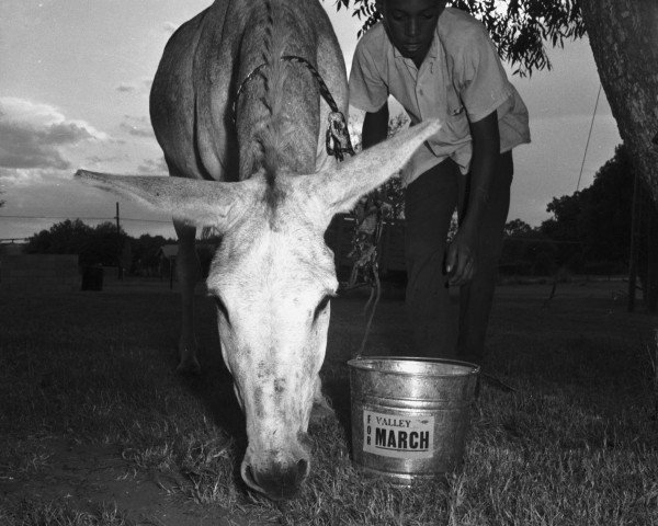 "The farm workers' burro mascot, ""$1.25"" (named for the minimum wage they were seeking), is watered and fed on the church grounds, Floresville, August 23, 1966.  (MS 360:  E-0012-187-A-08)"