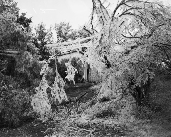 Icicles on power lines and a mesquite tree in a residence yard, March 1948.  (San Antonio Light Collection, MS 359: L-3512-E)
