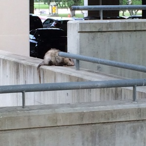 A possum snuggled into the concrete of the Ximenes garage.