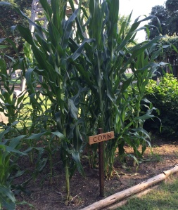 Tall corn in the garden of the Back 40 at the UTSA Institute of Texan Cultures.