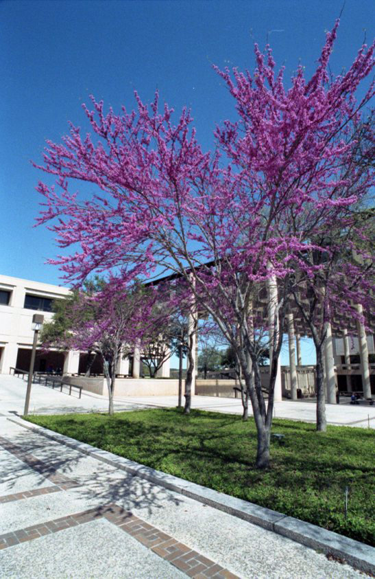 Redbud trees in the central courtyard, February 1992.
